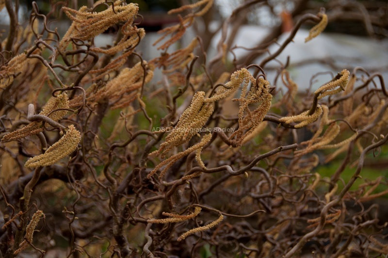 Catkins in the wind