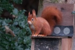 Red Squirrel on Anglesey